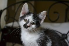 Smudge is an adoptable Domestic Short Hair Cat in Charlotte, NC. I'm a super sweet, affectionate, playful and very handsome boy ready for a home of my own! I do really well with other kittens and cats...