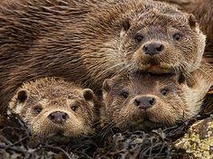 La riscossa delle lontre, regine dei fiumi