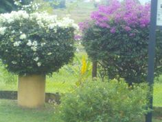 Bougainvilleas growing at the Entrance of the Pitch Lake, Trinidad