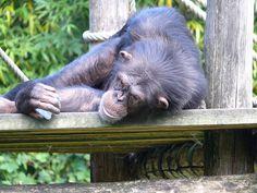 Zoo La Flèche, France  chimpanzé