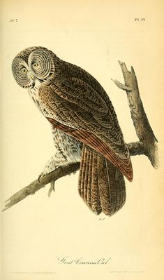 Vol 1, 1840: The Birds of America by John James Audubon [BHL] - GREAT CINEREOUS OWL