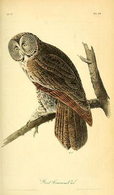 Great Cinereous Owl, The birds of America, John James Audubon : - Biodiversity Heritage Library Nature Prints, Bird Prints, Owl Art, Bird Art, Owl Canvas, Canvas Art, Illustration Botanique, Audubon Birds, Motifs Animal