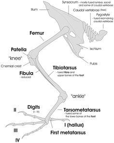 Bird leg and pelvic girdle skeleton EN - Bird feet and legs - Wikipedia Small Birds, Pet Birds, Parakeet Care, Cages For Sale, Feet Drawing, Foot Anatomy, Les Reptiles, Animal Anatomy, Bird Drawings