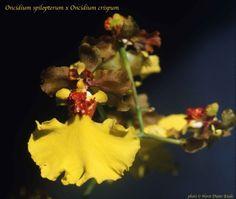 Oncidium spilopterum x crispum