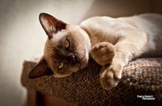 HD Burmese cat or Burma wallpaper