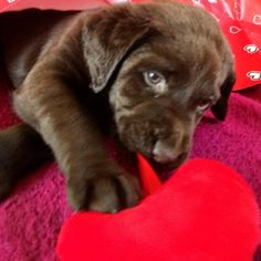 Puppy love  by labradors4life