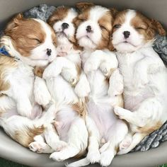 Cavalier King Charles Spaniel – Graceful and Affectionate King Charles Puppy, Cavalier King Charles Dog, King Charles Spaniel, Puppies And Kitties, Cute Puppies, Cute Dogs, Doggies, King Spaniel, Spaniel Puppies