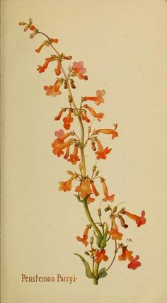 Penstemon Parryi. Plate from 'Field Book of Western Wild Flowers' (1915) by…