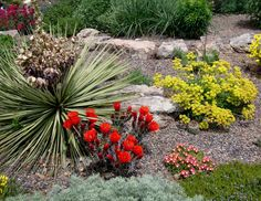 "June 14, 2009 via http://prairiebreak.blogspot.com/2015/03/kendrick-lake.html ""Echinocereus triglochidiatus, Delosperma dyeri, Eriogonum flavum var. aureum"" (Also: Artemisia, Veronica, poss. Centranthus?)"