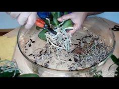 Cómo recuperar Orquídeas sin raíces y deshidratadas (Parte 2) - YouTube Orchid Care, Growing Plants, Coconut Flakes, Cactus, Succulents, Youtube, Bonsai, Appliques, Apps