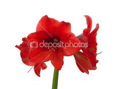 Blooming red amaryllis