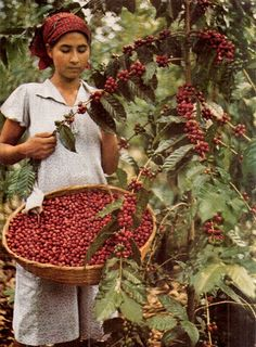 harvesting coffee beans, coffee farm, El Salvador - National Geographic July 1944