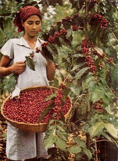 harvesting coffee beans, coffee farm, El Salvador - National Geographic July 1944