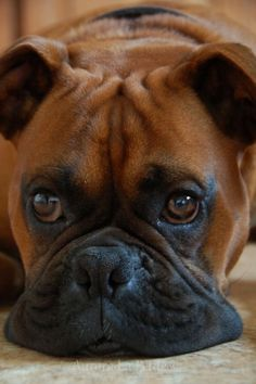 .#Boxer- looks just like my Gunner  via @KaufmannsPuppy