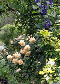 'Buff Beauty ' Rose Photo