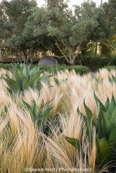 Oehme Van Sweden drought tolerant demonstration garden with grasses and agave at Cornerstone.