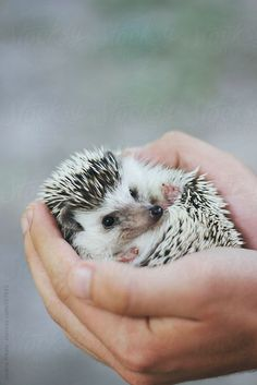 Person holding an adorable hedgehog