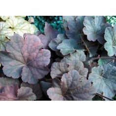 Heuchera 'Mocha' Bell Gardens, Coral Bells, Black Leaves, Heuchera, Shade Garden, Dark Colors, Mocha, White Flowers, Perennials