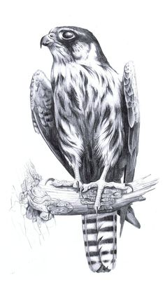 Falco subbuteo by LisaPannek on DeviantArt - Falco subbuteo by harpyja. Cute Animal Drawings, Animal Sketches, Bird Drawings, Drawing Sketches, Pencil Drawings, Drawing Art, Drawing Animals, Falke Tattoo, Scratchboard Art