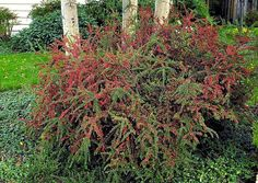 Rock cotoneaster (Cotoneaster horizontalis var. perpusillus) Perfect for rock gardens, cotoneaster is a sprawling, low-growing shrub wit...