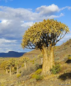 """Interesting things to see in South Africa. One of the many ancient Quiver Trees (Aloe dichotoma) in the """"Quiver Tree Forest"""" in Nieuwoudtville, South Africa."""
