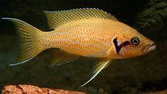 Glass Aquarium, Aquarium Ideas, Aquarium Decorations, Cichlid Aquarium, Aquarium Fish, Lake Tanganyika, African Cichlids, Angel Fish, Beautiful Fish