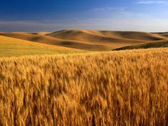 Palouse wheat fields, Eastern WA