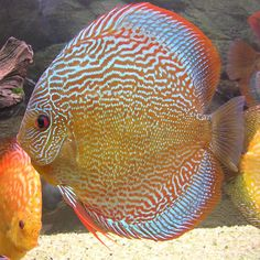 Discus Fish, Betta Fish, Rare Fish, Freshwater Aquarium Fish, Water Life, Beautiful Fish, Cichlids, Tropical Fish, Sea Creatures