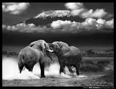 Elephant tussle in the shadow of Mt. Kilimanjaro.