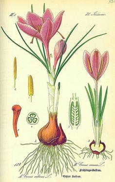 Crocus de printemps : Planter, cultiver et entretenir / Blog Promesse de fleurs