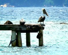 Pelicanos en el muelle