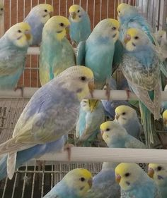 A million budgies crammed into a tiny cage. This is why you should either adopt, or choose a reputable breeder! Funny Birds, Cute Birds, Pretty Birds, Beautiful Birds, Budgie Parakeet, Budgies, Parrots, Exotic Birds, Colorful Birds