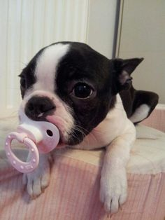Baby Boston Terrier Dog with Pacifier  Join this page about animals on Facebook : https://www.facebook.com/See-Animals-1239119219434359/
