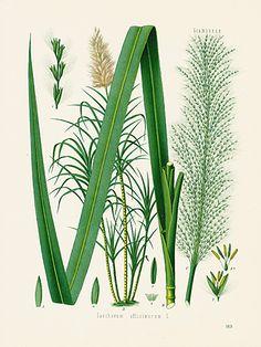 Sugarcane. #flower #botanical #antiqueprint #German #Medicine #antiquarian #art #interiordecorating