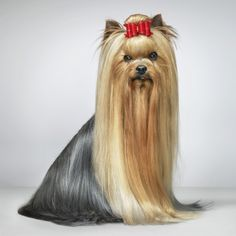 Dogs Gods by Tim Flach | The impact of cosmetics. Yorkshire terriers were originally bred to kill rats, and had to be brave and aggressive to do so. But their owners soon began to organise beauty contests, too. Now, it takes many hours of grooming to prepare a showdog like Honza for competition. A hairdresser usually travels with her. While waiting to go into the show ring, her hair is bundled into packages to keep it clean and ensure it lies perfectly flat.