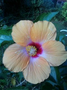 Giant hibiscus in my backyard