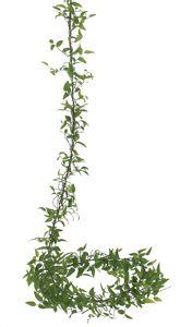 Smilax vine