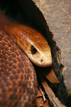 Australia's most deadliest snake:   The Taipan - Enough venom to kill 1,000 mice/100 men in a single bite. (Photo by Ryan Vince)