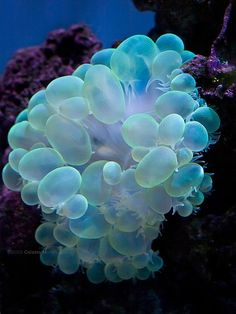 sea anemones. This is a Bubble Coral .. has a Large Mouth in the center and Eats