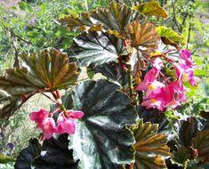 Begonia Faberge