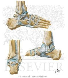Ligaments of the Ankle and Foot Calcaneus Ankle Ligaments, Foot Pictures, Sports Medicine, Medical Illustration, Geek, Amazing, Health, Image, Anatomy
