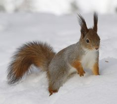 Photo about Red squirrel on snow in Lapland in Finland. Image of winter, furry, vulgaris - 42892313 Lapland Finland, Winter Images, Red Squirrel, Graphic Design Projects, Vector Design, Snow, Stock Photos, Nature, Animals