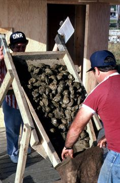 Oysters being inspected - Apalachicola, Florida.