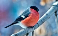 Peacock Wallpaper, Bullfinch, All Birds, Wallpaper Backgrounds, Wallpapers, Background Images, Animals, Rocks, Free