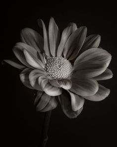 Chrysanthemum. Photographed with Shen Hao HZX45-IIA with a Schneider Symmar-S 150mm f5.6 lens on Ilford HP5+ 4x5 sheet film and developed in Pyrocat HD.