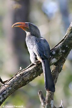 Malabar Grey Hornbill - Ocyceros griseus