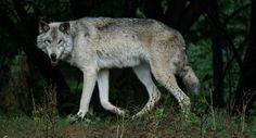 Gray Wolf by Adam K.