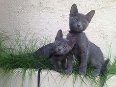 chatons korat découvrant la nature http://korat-elevage.blogspot.fr/2013/09/chatons-korat-decouvrant-la-nature.html