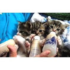 follow us, like and comment if you feel this pet is lovable:) #cats #catsagram #catstagram #instagood #kitten #kitty #kittens #pets #animal  #petstagram #petsagram  #catsofinstagram #ilovemycat #instagramcats #catoftheday #lovecats #lovekittens #catlover