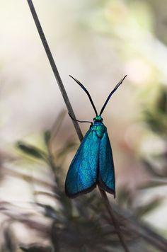 Satin Green Forester Moth.